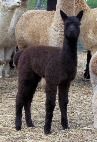 2010 Female Cria
