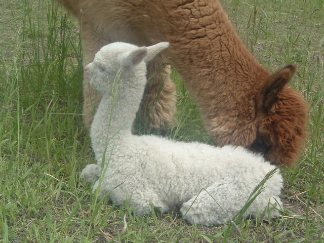 Kenzie as cria, popcorn fleece