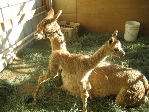 Sugar and her first cria