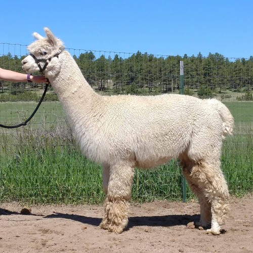 Alpaca For Sale - Miguel de La Mancha at Alpacas de La Mancha