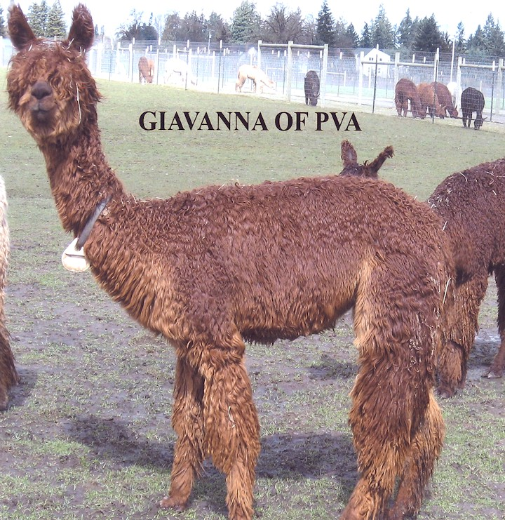 Giavanna-Producer of Champions