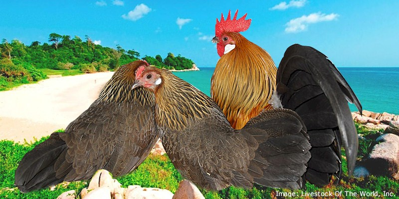 Dutch Bantam Chickens