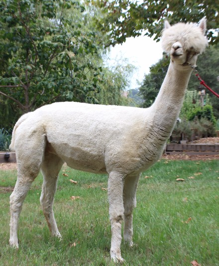 Alpaca For Sale - Starquest's Lalibelle of WV at Wooden Valley Alpacas
