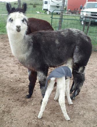 Dot with new female cria, 2014