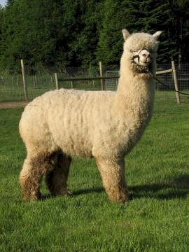 Photo: <a href=http://www.livestockofamerica.com/Ranches/ranchhome.asp?Peopleid=4020 class = body target = _blank>Columbia Mist Alpacas</a>