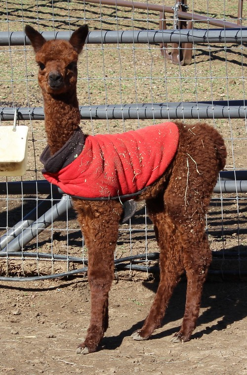 2012 Cria Royal Fawn at 2 Wks