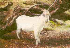 Captured goat on Auckland Island 1987
