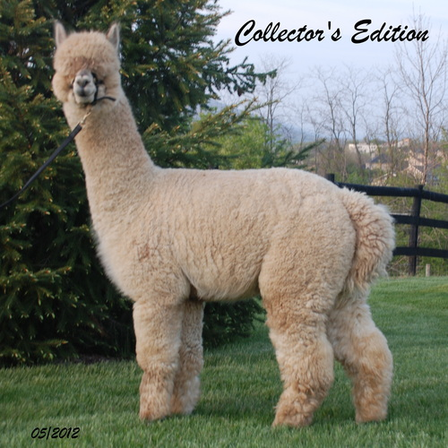 Alpaca For Sale - Collectors Edition - An Amazing Herd Sire at Alpacas of the Alleghenies, LLC