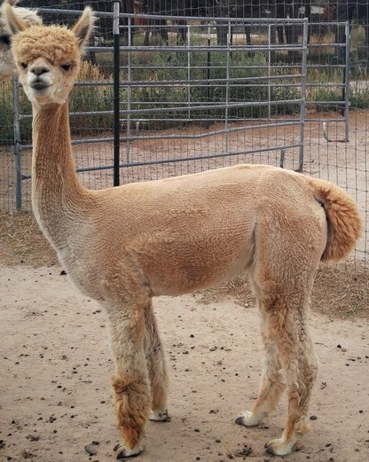 Alpaca For Sale - Giacomo's Dulce Miel at Alpacas de La Mancha