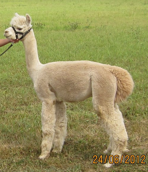 Alpaca For Sale - Diamond Continental at Golden Life Ranch Alpacas, LLC