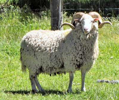 Photo Source: New Zealand Rare Breeds (www.rarebreeds.co.nz).