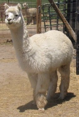 Alpaca For Sale - Walls Edge Peruvian Coronado at Burning Sky Ranch, LLC