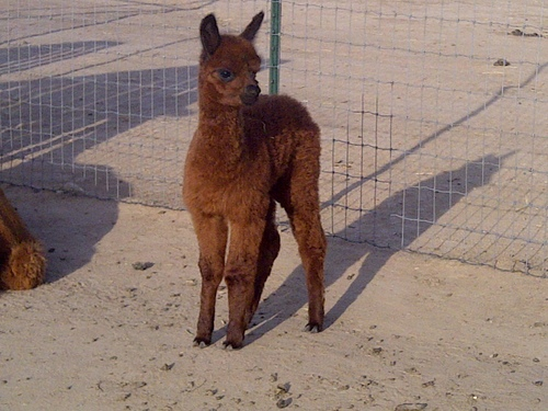 Sophia's first cria 2013