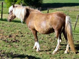 Timor pony   (Photo by Louise Howse)