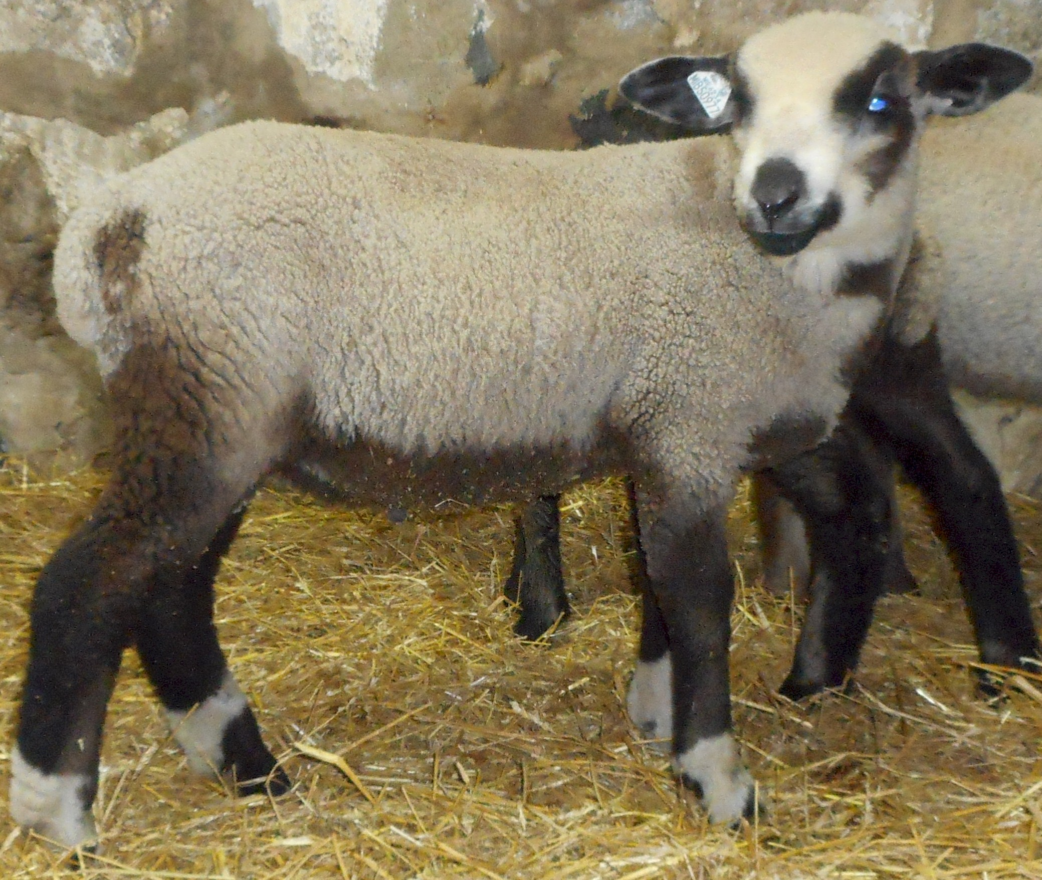 Princley as a lamb 2016