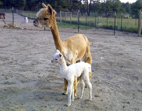 Sorocco and 1st male cria