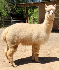 Alpaca For Sale - Kilimanjaro's Geisha Girl at Wooden Valley Alpacas