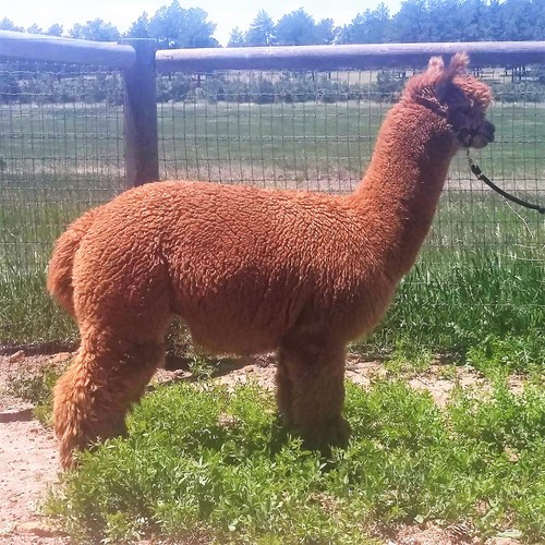 Alpaca For Sale - Elvis' Emerson at Alpacas de La Mancha