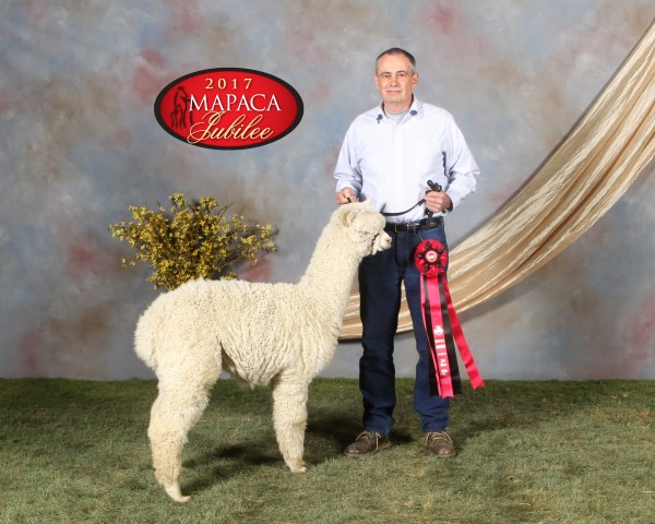 Alpaca For Sale - Seether at Arrowhead Acre Alpacas