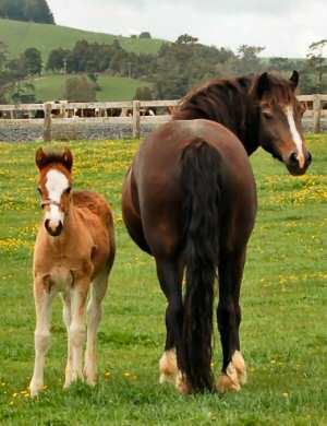 Welsh Cob filly foal and mare (Photo from Carolynn West)