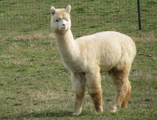 Alpaca For Sale - KAF Skylark Melody at Kismet Acres Farm