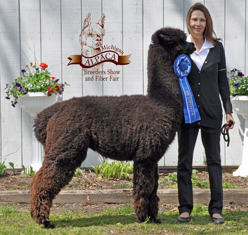 Alpaca For Sale - Agar's Lady Madeline at Golden Life Ranch Alpacas, LLC