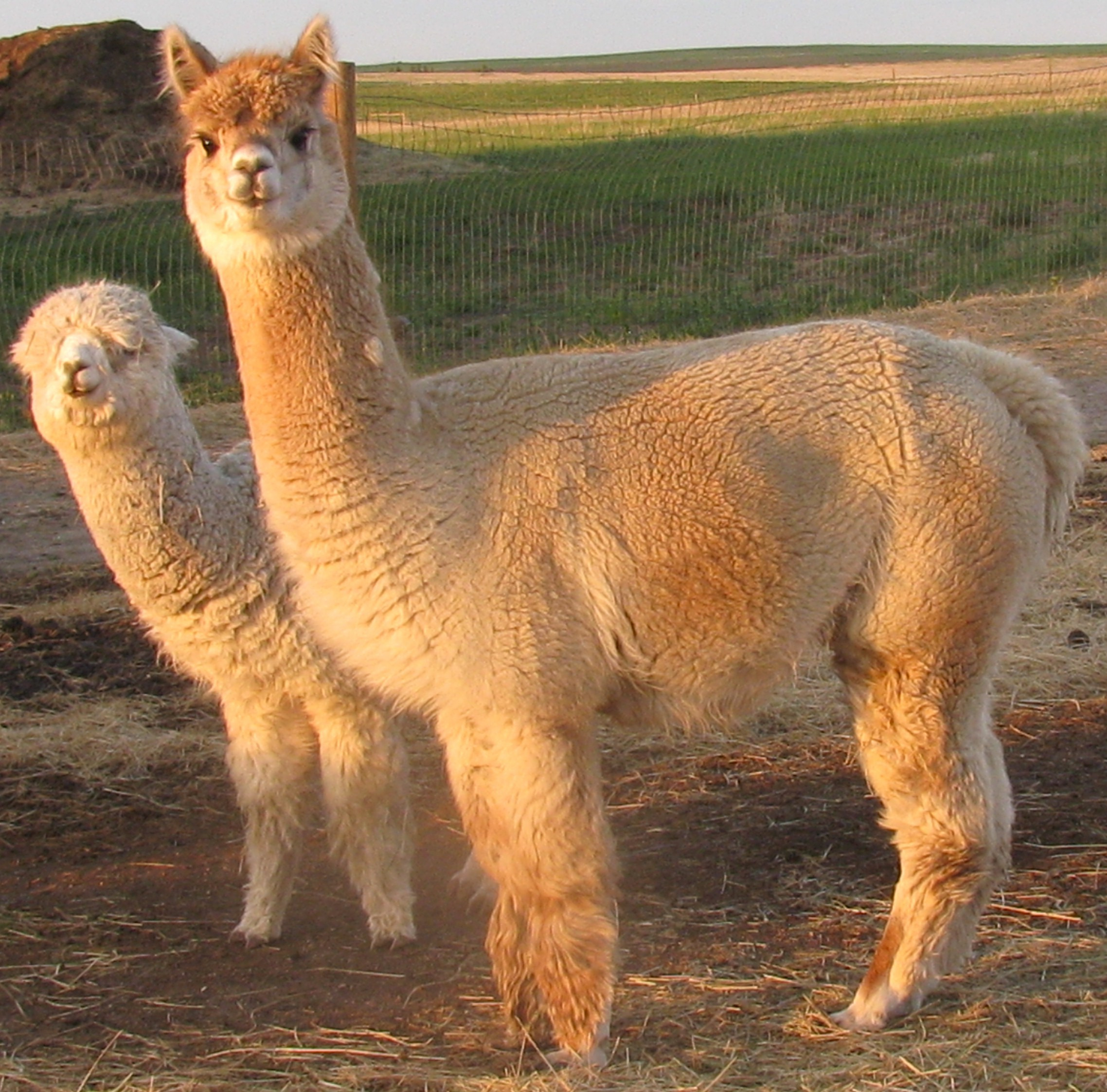 Ember and cria Jenks