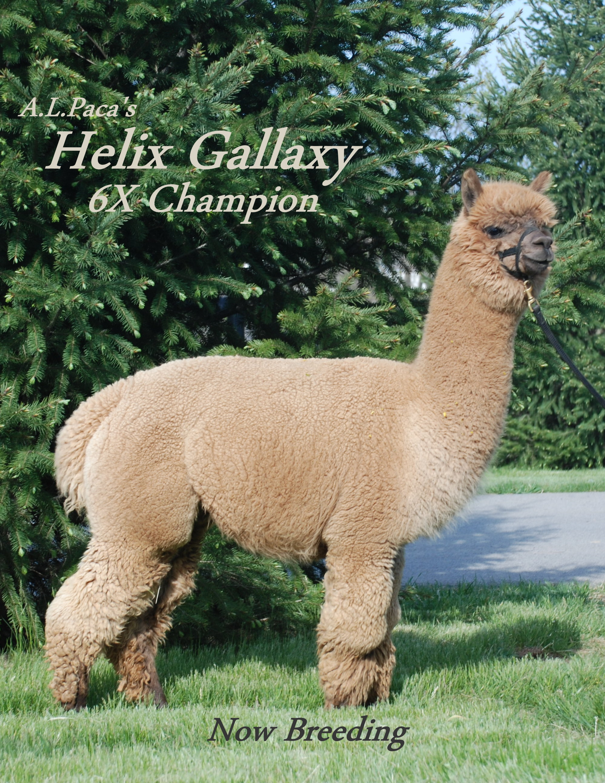 Alpaca For Sale - A.L.Paca's Helix Galaxy at Alpacas of the Alleghenies, LLC