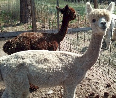 Prince Dauntless 2016 cria
