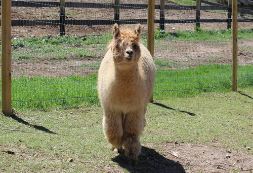 Alpaca For Sale - Pilar's Honey at Lilymoore Farm