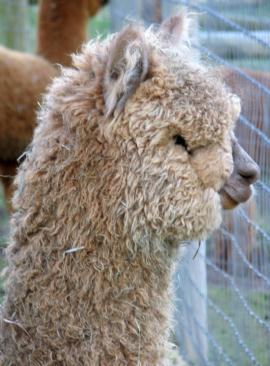 Heavy Fleeced Cria