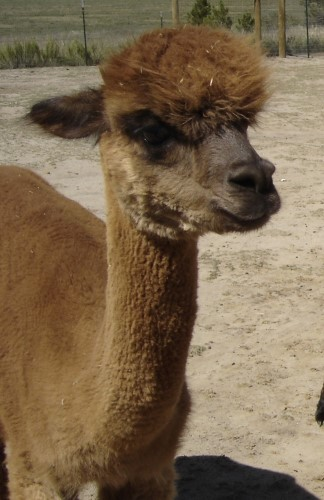 Alpaca For Sale - Carmen de La Mancha at Alpacas de La Mancha
