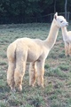 Alpaca For Sale - Alexander of the Alleghenies at Alpacas of the Alleghenies, LLC