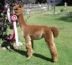 Alpaca For Sale - AMB Lucky Lady Olga at Log Cabin Farm Alpacas, LLC