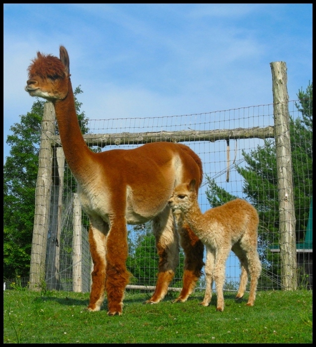 Olga with cria by side