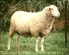 Photo Source: New Zealand Rare Breeds (www.rarebreeds.co.nz)
