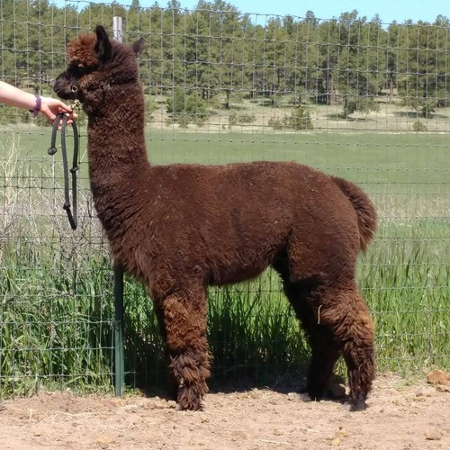 Alpaca For Sale - La Mancha's Dark Knight at Alpacas de La Mancha