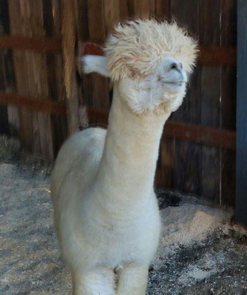 Alpaca For Sale - Grace's Contessa at Lilymoore Farm