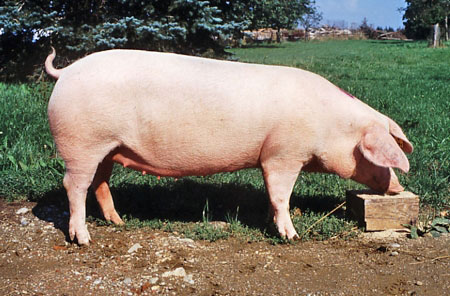 Image result for landrace pigs