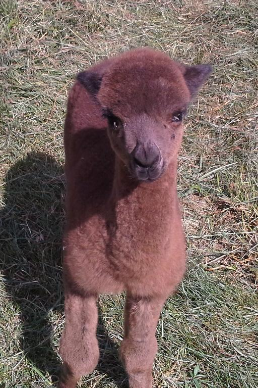 2015 female cria