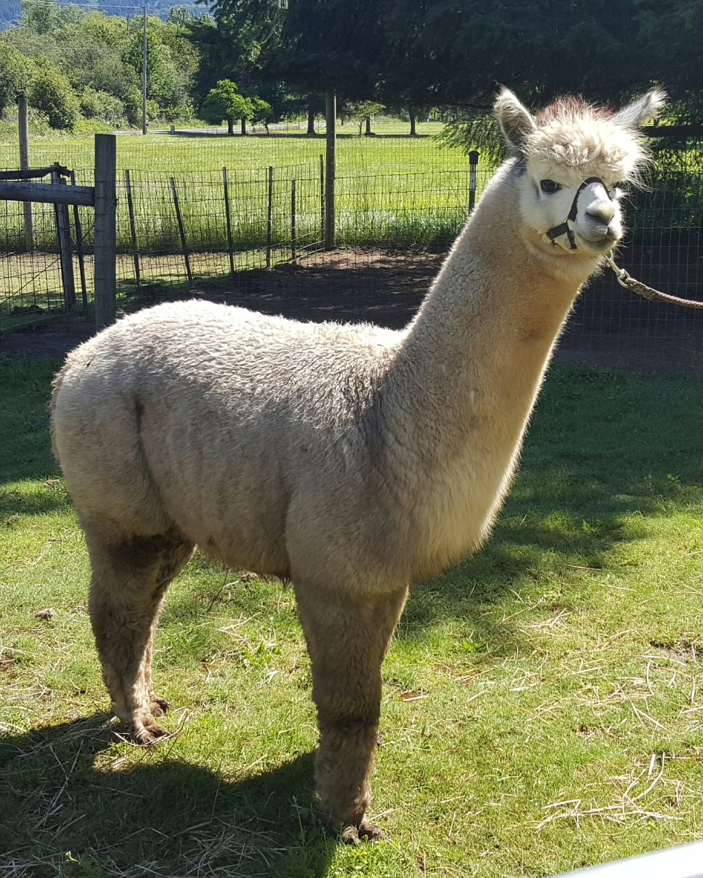 Alpaca For Sale - LLA Greyson at Alpacas of Lavender Lane