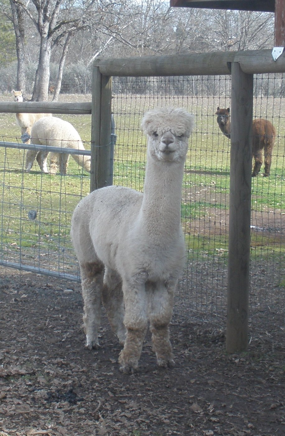 Alpaca For Sale - Cavalier at Alpacas at Lone Ranch