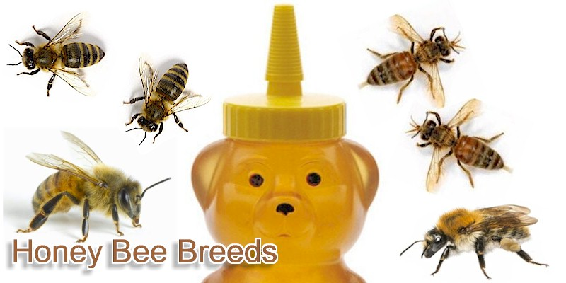 Breeds of Honey Bees