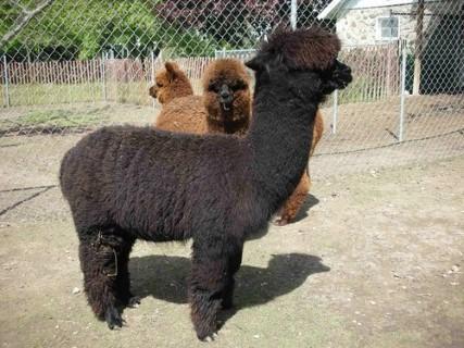 Shearing Day 5-10-2010