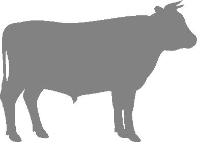 About British White Cattle