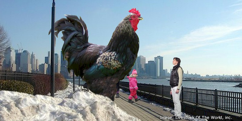 Chicken Breeds Livestock Of The World