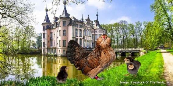 Belgian BantamChickens