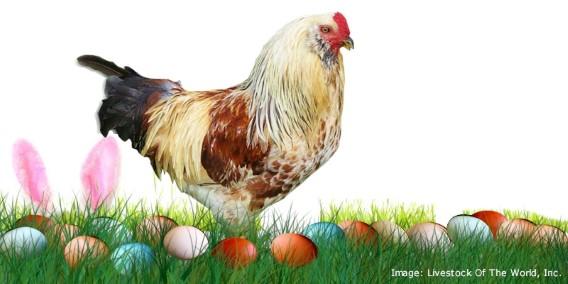 Easter EggerChickens