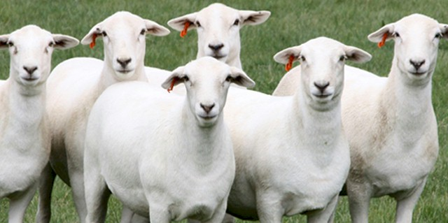 Image: <a href=http://www.australianwhites.com.au class = body target=_blank>Australian White Sheep Breeders Associations</a>