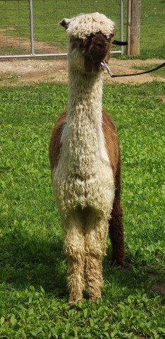 Dakota front legs